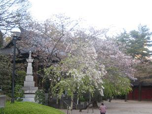 sakura-jp.JPG